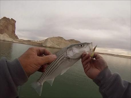 Lake powell fishing report june 2 2015 by wayne for Lake powell fishing