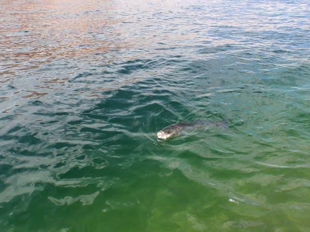 Lake powell fishing report 4 4 13 ambassador guides at for Big lake az fishing report
