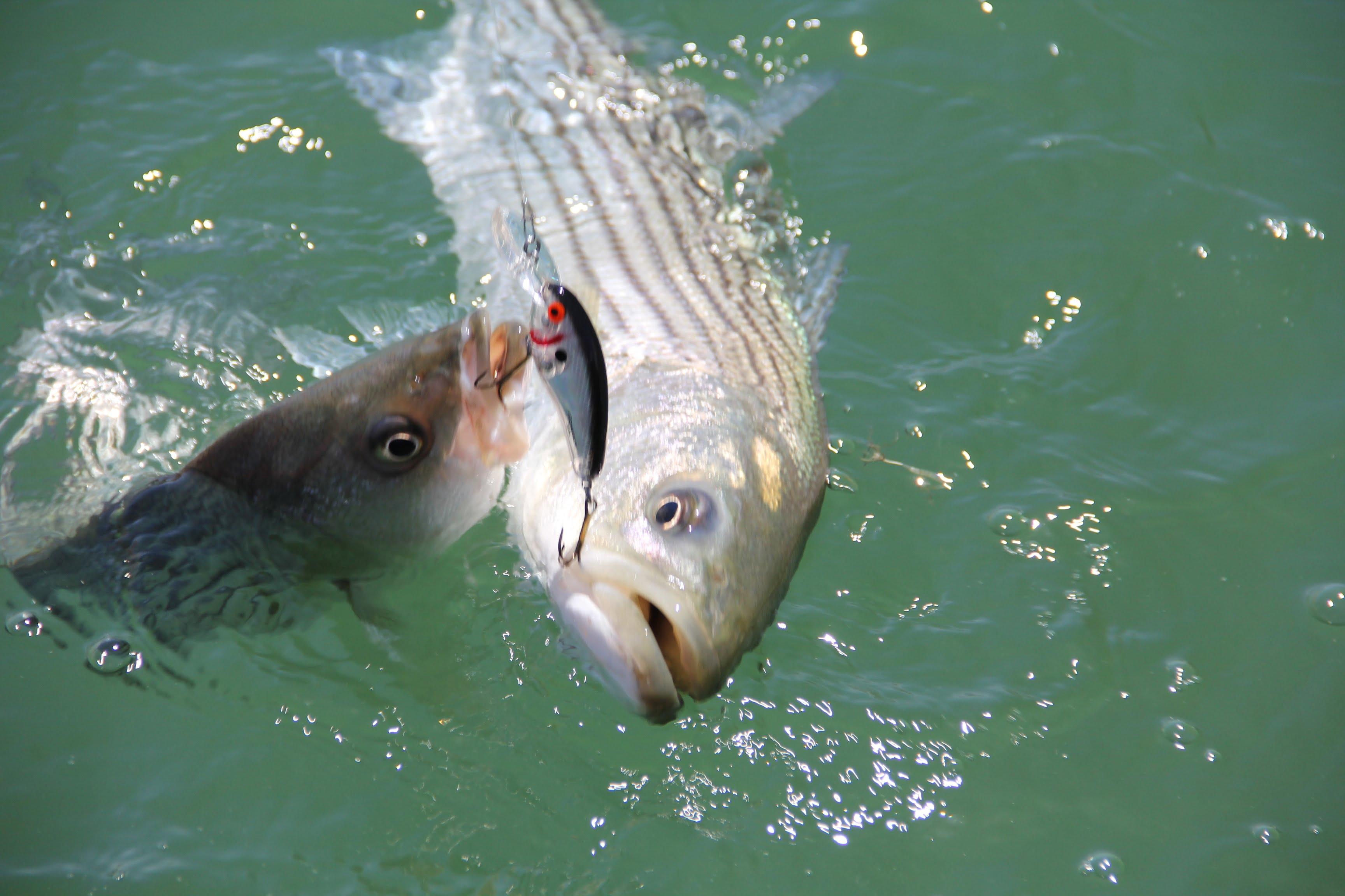 Lake powell fishing report by wayne gustaveson 8 20 14 for Lake powell fishing