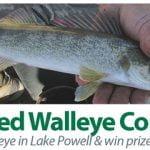 Tagged Walleye contest at Lake Powell Arizona